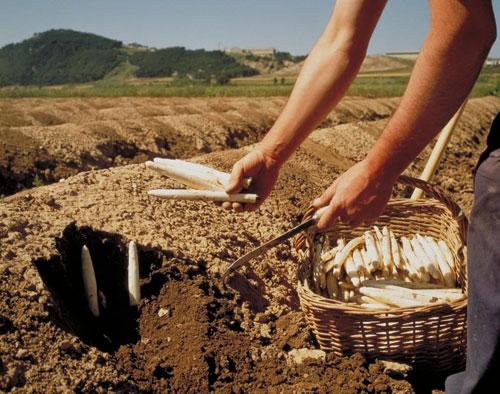 Ekoizar: espárrago ecológico de Navarra